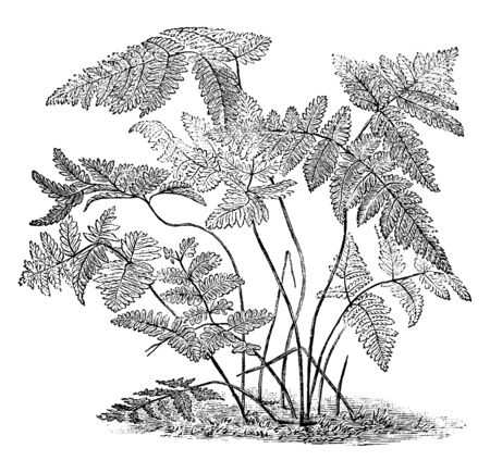 A picture, thats showing Polypodium Dryopteris. It is also known as Oak Fern. The leaves are slender shaped. It found in Great Britain, vintage line drawing or engraving illustration.
