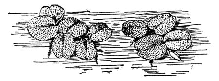 Salvinia Natans these are floating fern grown on water surface, vintage line drawing or engraving illustration.