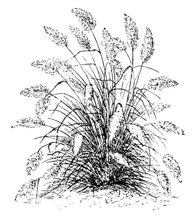 In this frame is shown the pennisetum longistylum grass. These grasses are narrow and attractively look, vintage line drawing or engraving illustration.  イラスト・ベクター素材