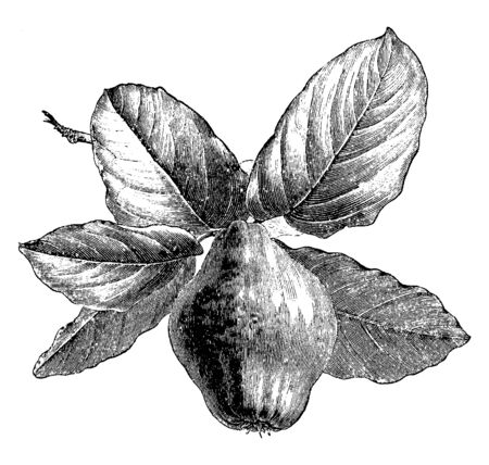 An illustration of Quince leaves with fruit also known as Cydonia Oblonga. The flowers tend to be white or pink, and consist of 5 petals, vintage line drawing or engraving illustration.
