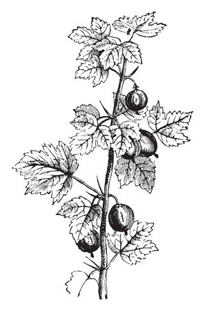 Gooseberry berry or fruit actually enhances food absorption, balances stomach acid, fortifies the liver, nourishes the brain and mental functioning, and supports the heart, vintage line drawing or engraving illustration.