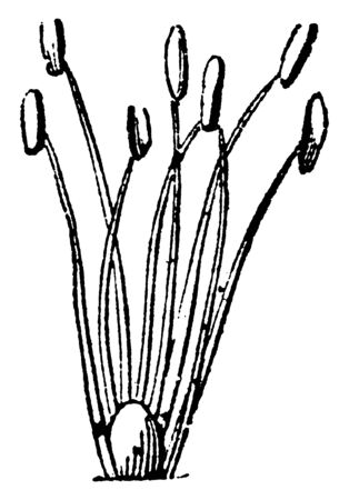 A picture showing Linnaeus Heptandria. This is the sexual system of a plant and here having seven stamens, vintage line drawing or engraving illustration.