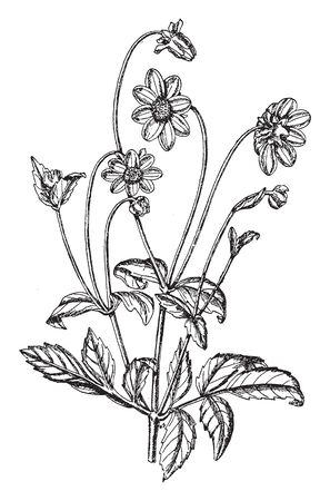 A picture is showing Dahlia Rosea. This is a perennial plant. It blooms in August to October. Flowers are edible and also used as decorative purpose, vintage line drawing or engraving illustration.