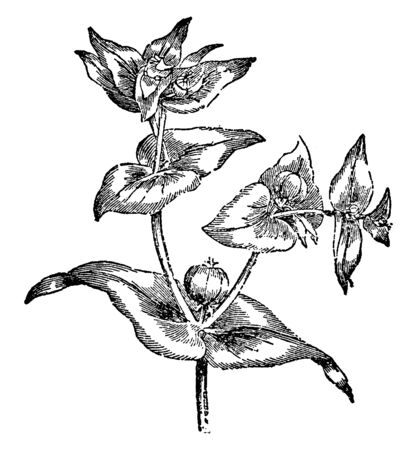 A poisonous European herb that is adventive in America and has seeds that yields a purgative oil, vintage line drawing or engraving illustration.
