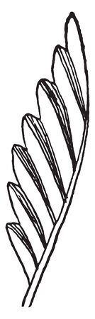 A picture of Plicate leaf which are arranged in parallel folds or ridges, vintage line drawing or engraving illustration.