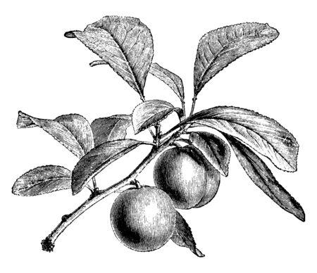 Une photo montrant une branche de prunier Green Gage avec ses fruits, un dessin de ligne vintage ou une illustration de gravure.