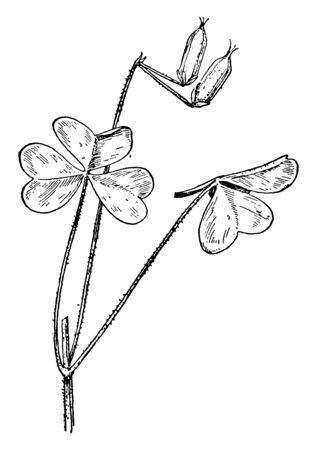 A picture shows the O. Filipes Flower Plant. It belongs to Oxalidaceae and it has white yellowish flower. Petals are heart shaped; three petals for each stem and one of the stems have two buds, vintage line drawing or engraving illustration.