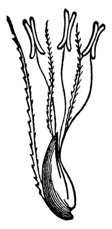 The step of growing seed, the sigma attach to seed by filament, vintage line drawing or engraving illustration. Иллюстрация
