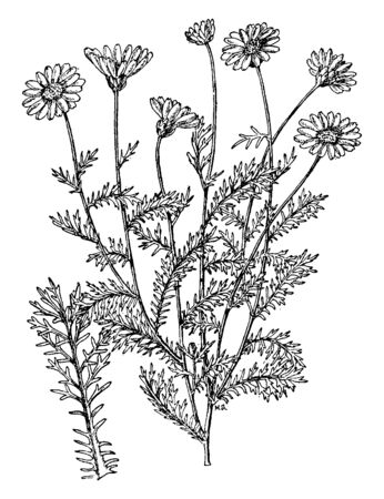 Ursinias are showy flower plants, they flower come in June to September, vintage line drawing or engraving illustration. Ilustrace