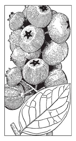 These berries are Swamp berries. It has the dark glossy green leaves and fruit is blue coloured, vintage line drawing or engraving illustration.