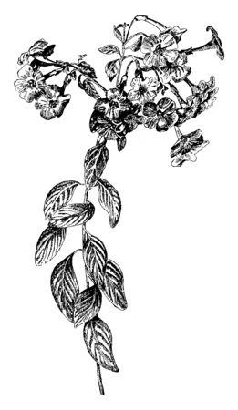 An illustration of the shrub features orange flowers of Streptosolen Jamesonii plant. Streptosolen, a single species genus of the Solanaceae family, vintage line drawing or engraving illustration. Ilustração