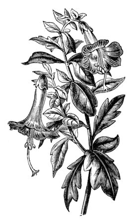 A branch of a small shrub or tree with crowded, simple, short-stalked or sessile leaves, flowers in close terminal clusters and a corolla with a slender tube much exceeding the calyx, vintage line drawing or engraving illustration. Vettoriali