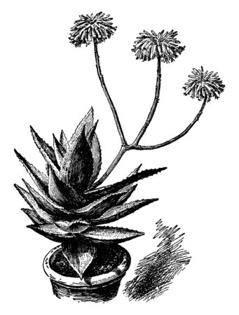 This picture is showing an Aloe mitriformis plant. The leaves are very thick and oval shaped, it is use for medicine, vintage line drawing or engraving illustration.