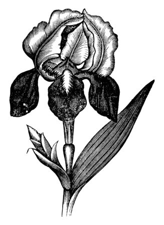 Flowers grow in typical shape and drooping sepals towards the base. Leaves and buds grow from the stem node, vintage line drawing or engraving illustration.
