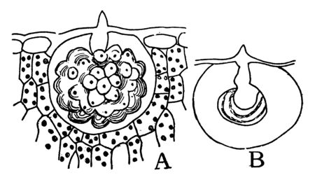 A picture showing Cystoliths from the leaf of Ficus carica, vintage line drawing or engraving illustration. Standard-Bild - 132878737