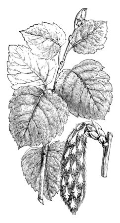 It shows the leaves of Populus, a species of poplar, commonly found in Spain, Morocco, and central Europe and Asia, vintage line drawing or engraving illustration.