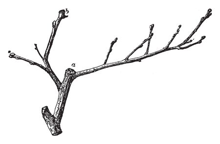 A picture shows the Twig of Quince. Label a shows cydonia oblonga and label 2 shows place where fruit was borne and it is native to the USA, vintage line drawing or engraving illustration. Illusztráció