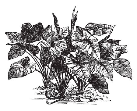 Colocasia is small genus Asian and Polynesian tuberous-rooted aroids. It has a less conical axis of a spike, vintage line drawing or engraving illustration.