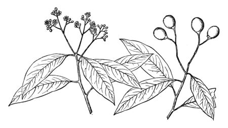 This picture is a branch of Ocotea Catesbyana tree that is found in the summer season in Central and South America, vintage line drawing or engraving illustration.  イラスト・ベクター素材