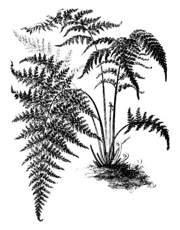 This is a image of Gymnogramme Decomposita and this fern is covered in yellow powder, vintage line drawing or engraving illustration.