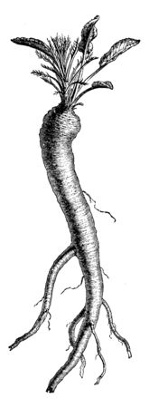 This picture showing a horseradish. It is grow underground. It is root vegetable it uses in spice. It long and thin. Leaves grow upper side of this vegetable, vintage line drawing or engraving illustration.