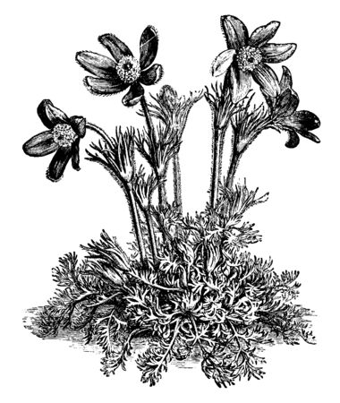 A picture is showing a flower of Anemone Pulsatilla also known as Pasque Flower. The flowers of Anemone Pulsatilla are mostly violet and have a silky texture, vintage line drawing or engraving illustration. Illusztráció