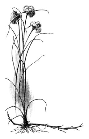 It is a Cottongrass plant belongs to the sedge family Cyperaceae and native to arctic, subarctic and temperate portions of the Northern Hemisphere, vintage line drawing or engraving illustration.