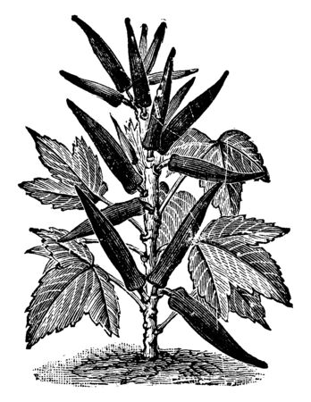 This is an okra plant. The stems are long, rounded and thin. The okra is attached to stems. Okra grows the upper side of plant. Okra if thin and long. Seed grow in inner side of okra, vintage line drawing or engraving illustration. Çizim