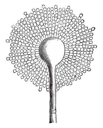 A picture showing Aspergillus Glaucus which is the Mold of cheese, but common on Moldy vegetables, vintage line drawing or engraving illustration.