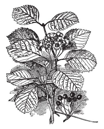 An dense shrub of Crataegus Macracantha is also known by Crataegus succulenta. It's a species of hawthorn known by the common names fleshy hawthorn, succulent hawthorn, and round-fruited cockspurthorn, vintage line drawing or engraving illustration.