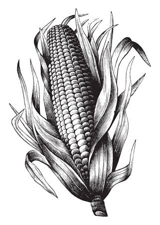 Its corn in maize. They are covered with husk on both sides. The interior side is the kernel (fruit). The upper side has a silky part. The lower side is the shank it is thick and little bit long, vintage line drawing or engraving illustration.
