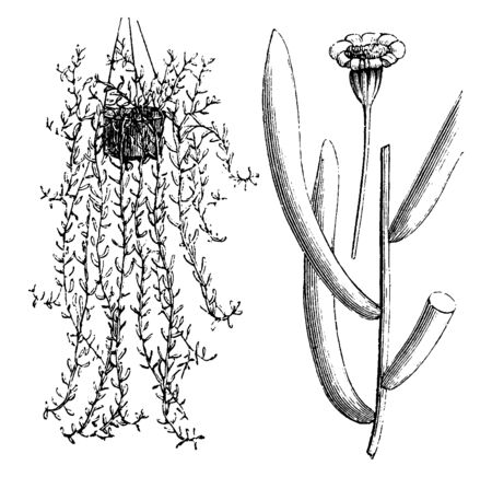 Ophthornas common name is Ragvort, some flowers of the Capsifolia variety have grown towards the head and on the other side it has been grown in a basket, vintage line drawing or engraving illustration. Ilustração