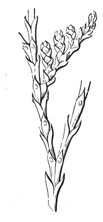Leaves like scale, a leaves sharp pointed and usually short. The leaves Expanded, connected and inner part on the branch, vintage line drawing or engraving illustration. Illusztráció