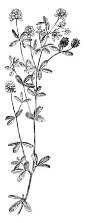 Hop Clover is a small erect herbaceous biennial plant. It has leaves divided into three sessile leaflets. It has yellow flowers, vintage line drawing or engraving illustration.