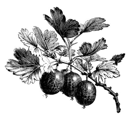 A picture showing fruiting branch of Gooseberry. The branches of the Gooseberry plant help protect each other to protect the fruit. A scorching sun can prematurely mature the gooseberry, vintage line drawing or engraving illustration.