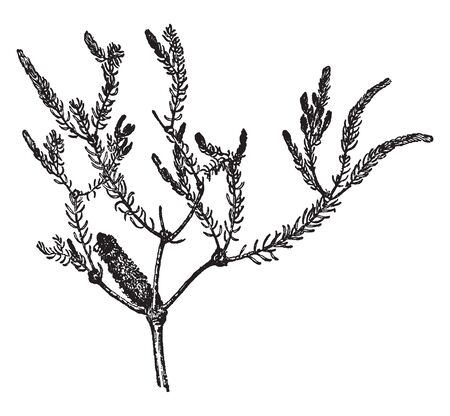 It is a large shrub tree, they growing wide and long. Leaves are narrow, thats why stem looks hairy. A beautiful flower growing on branch, vintage line drawing or engraving illustration.