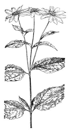 Jerusalem Artichoke is species of sunflower. It is known as sunchokes and sunroots, vintage line drawing or engraving illustration.