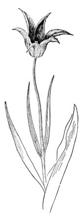 The Picture of Tulipa Acuminata flower. In many countries, cultivated in the form of splendid flowers, vintage line drawing or engraving illustration.