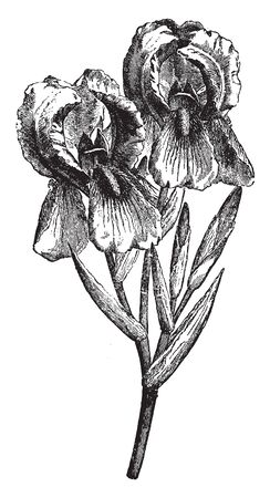 Iris of the family Iridaceae, the iris family with linear usually basal leaves and large showy flowers, vintage line drawing or engraving illustration. 向量圖像