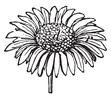 A picture is showing Daisy Flower. It belongs to Asteraceae family and native to north and central Europe. Daisy flower is composed of white petals and a yellow center, vintage line drawing or engravi 일러스트