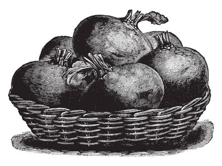 In this image we see many beet roots kept in the basket, vintage line drawing or engraving illustration. Illustration
