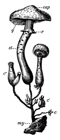 This picturers showing a honey fungus. This is a type of mushroom. The upper cap is broad and stam is thick and round, vintage line drawing or engraving illustration.