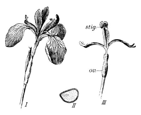 A picture showing the stages of Iris flower. In it ( I ) is flower, ( II ) is seed, longitudinal section, ( III ) is flower with the outer segments of perianth removed; stig, stigma, ov., Ovary, vintage line drawing or engraving illustration.