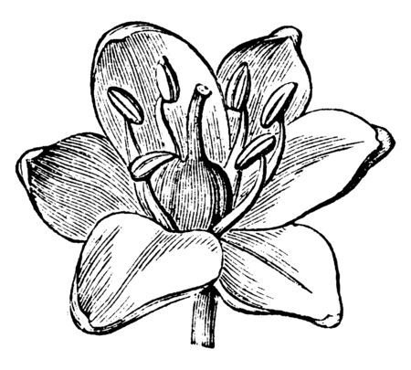 In this picture we see a flower of Scilla genus that is bulb-forming perennial herbs in the Hyacinthaceae, vintage line drawing or engraving illustration. Imagens - 132880598