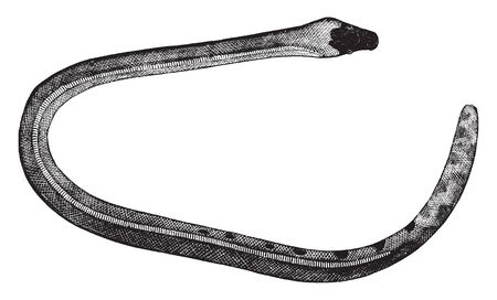 Bicolored sea snake is found in the waters of the Pacific Ocean especially in the vicinity of Tahiti, vintage line drawing or engraving illustration.