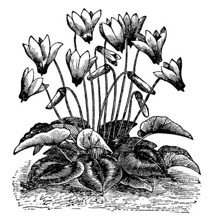 Cyclamen is a genus of perpetual flowering plants in the family Primulaceae. Its flowers are white and red, vintage line drawing or engraving illustration.