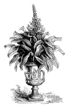 Red Bugle is perennial and evergreen plant. The plant is in the mint family, vintage line drawing or engraving illustration.