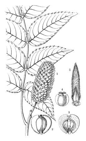 The genus Platycarya is in the family Juglandaceae in the major group Angiosperms (Flowering plants), vintage line drawing or engraving illustration.