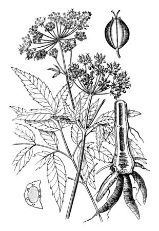 Water hemlockis one of the most deadly poisonous plants in North America. It identified with small green or white flowers hanging in the shape of an umbrella, vintage line drawing or engraving illustration. Illusztráció
