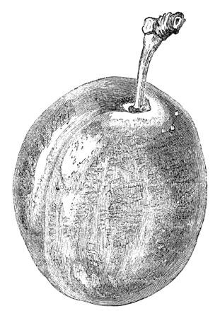 A picture showing branch of Smiths Orleans Plum tree with its fruit, vintage line drawing or engraving illustration.